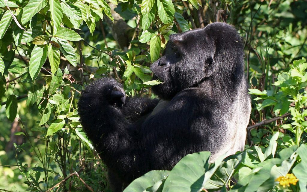 Bwindi Impenetrable Forest Mountain Gorillas