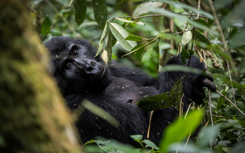 Uganda-champanzees