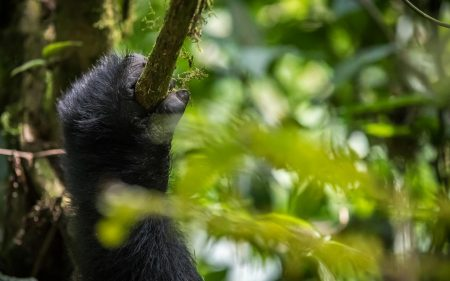 Uganda-Holiday-Adventure-bwindi-gorillas