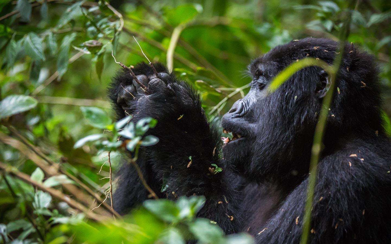 Uganda Gorilla Habituation Safari