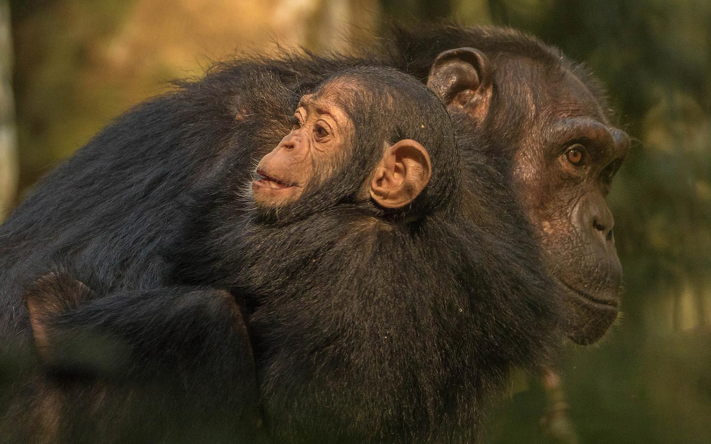 things-to-do-chimps