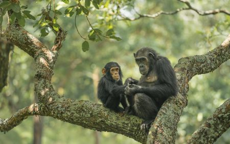 chimpanzees-trek-uganda