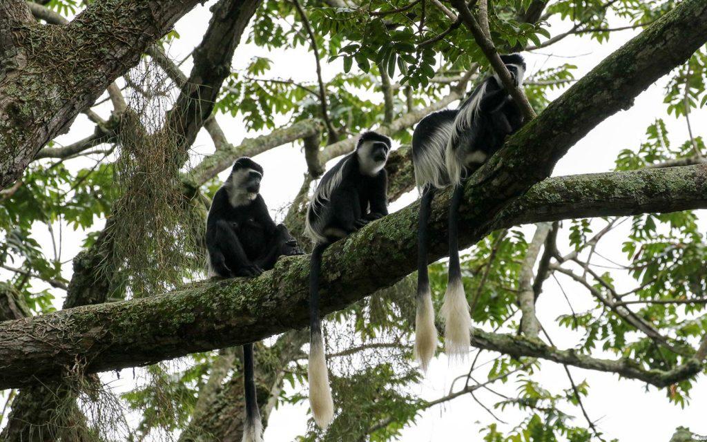 colobus-monkeys-queen