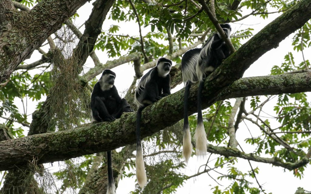 colobus-monkeys-kibale-national-park