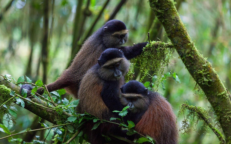 golden-monkeys-of-volcanoes