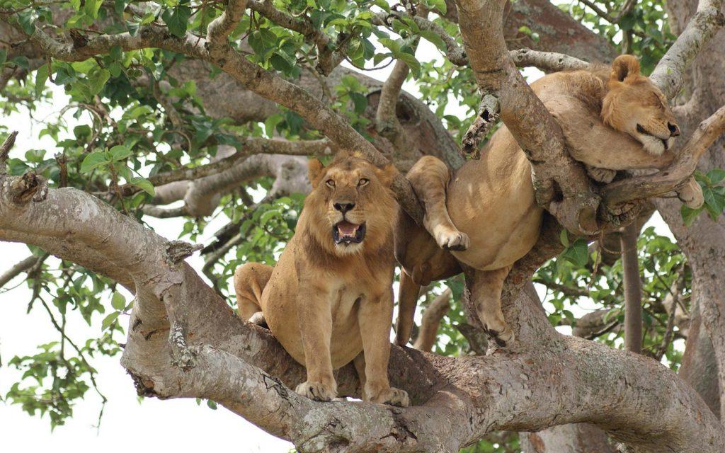 tree-climbing-lions-qenp