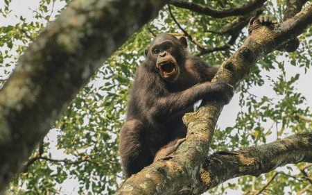 champanzees-gorilla-trekking