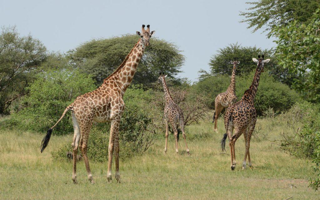 freka-african-murchison-falls-game-drive